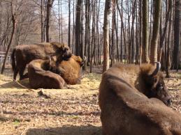European Bison Tour
